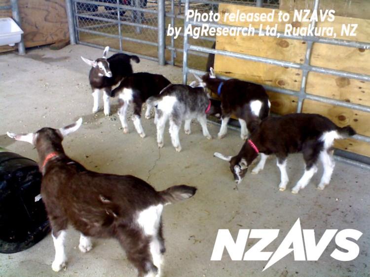 goats2 web